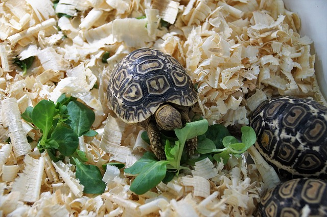 korytnačky v pilinách.jpg