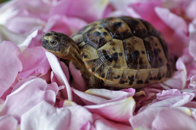 korytnačka na lupeňoch ruží.jpg