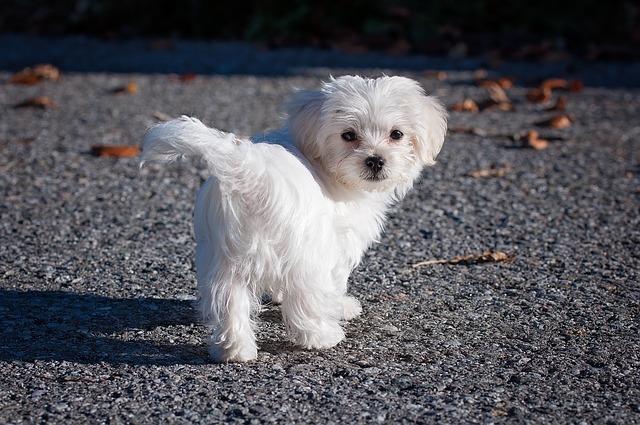 biely maltézsky pes.jpg