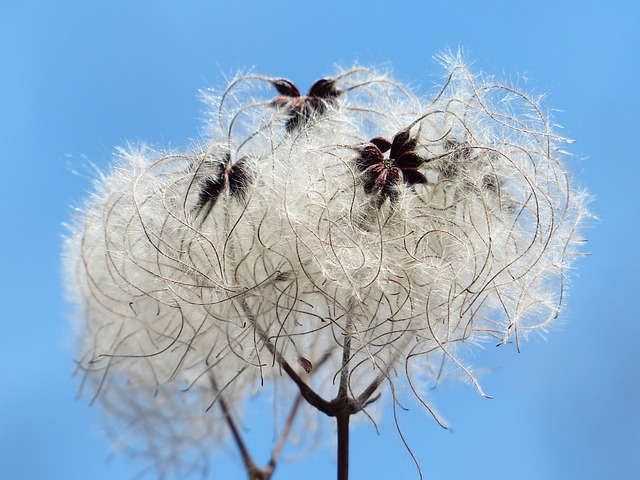 Odkvitnutý plamienok so semenami.jpg